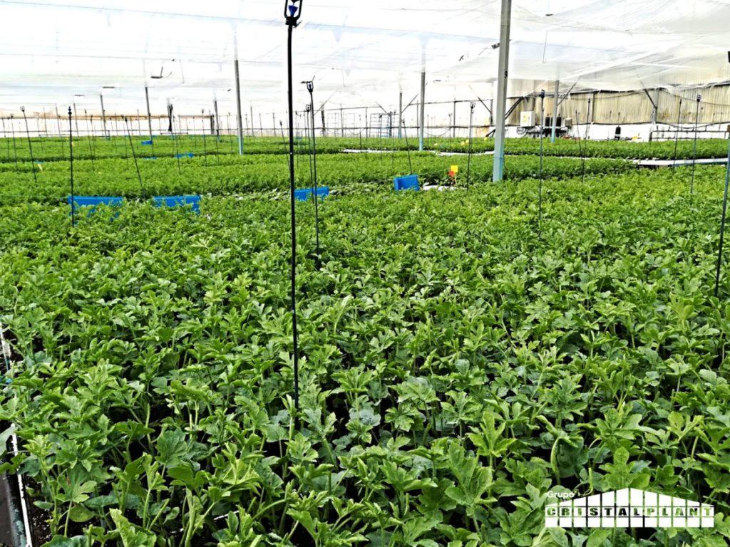 Semillero Grupo Cristalplant - Tasa positiva crecimiento en 2017