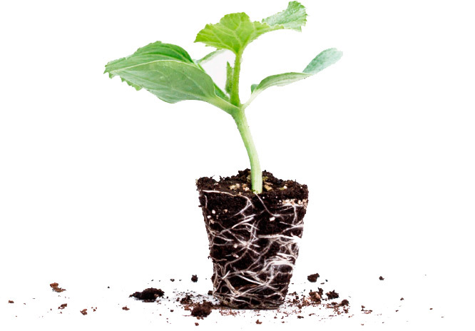 fotografia planta injerto agricola semillero cristalplant