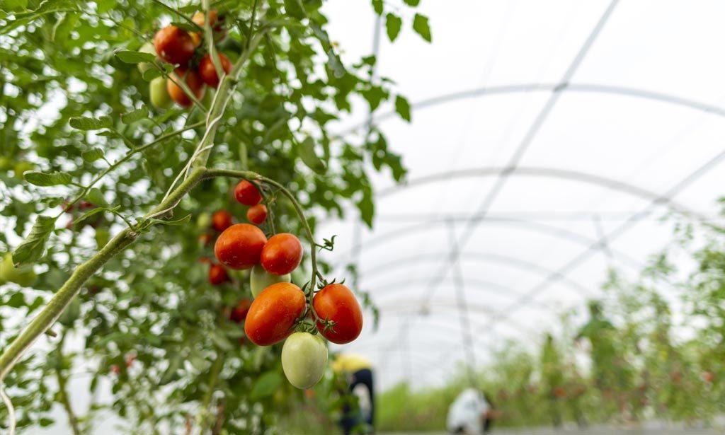 6 Variedades de Planta de Tomate para su Cultivo